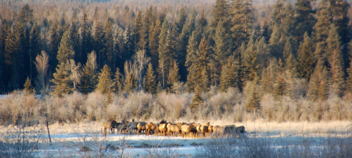 Elk gather on the ranch in winter.